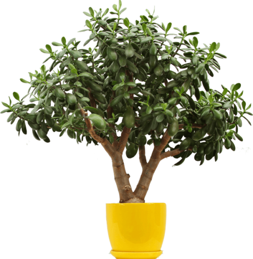 lemon-tree.png
